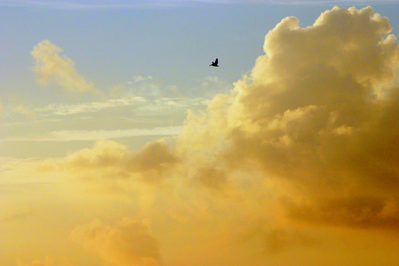 Pelican in Clouds