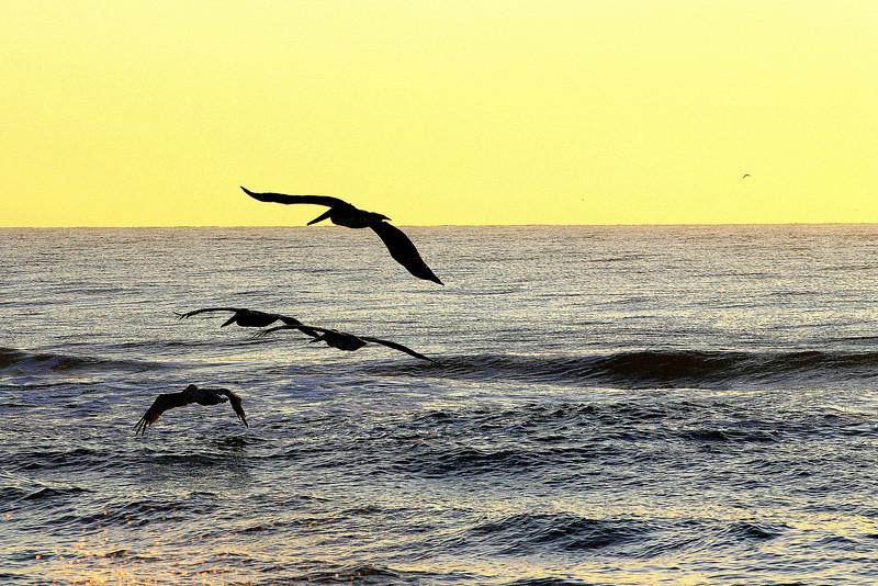 NC Ave Pelicans 2