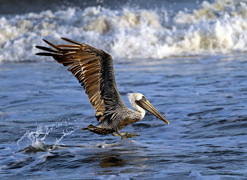 Carolina Beach, NC Pelican