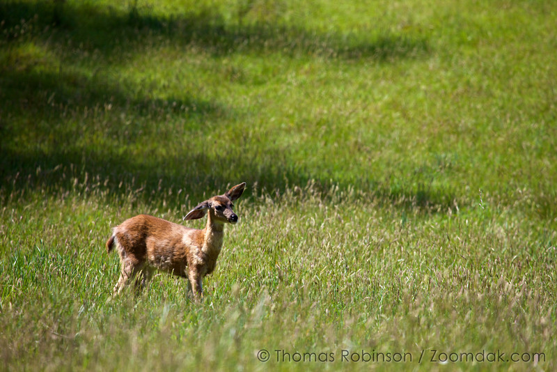 A fawn white-tailed deer (Odocoileus virginianus) keeps an eye and an ear out for her mother.