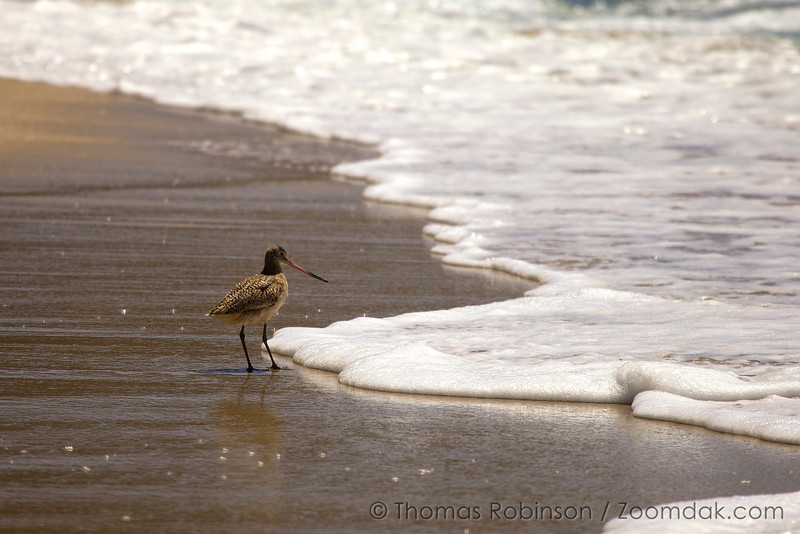 A Marbled Godwit (Limosa fedoa) searches for food at the tide line on Garrapata State Beach in California.