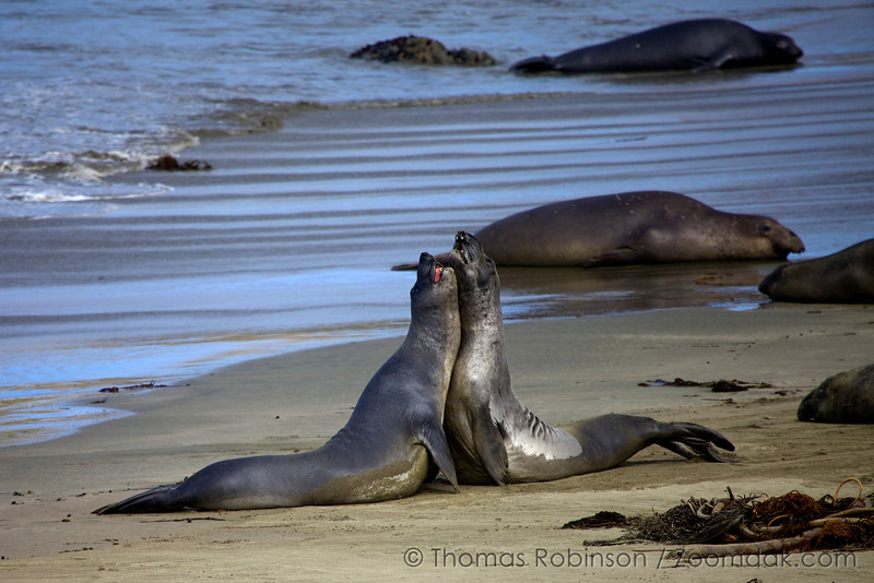 Two California sea lions (Zalophus californianus) seemingly hug yet are skirmishing for dominance on Sea Lion Beach near Piedras Blancas Lighthouse.