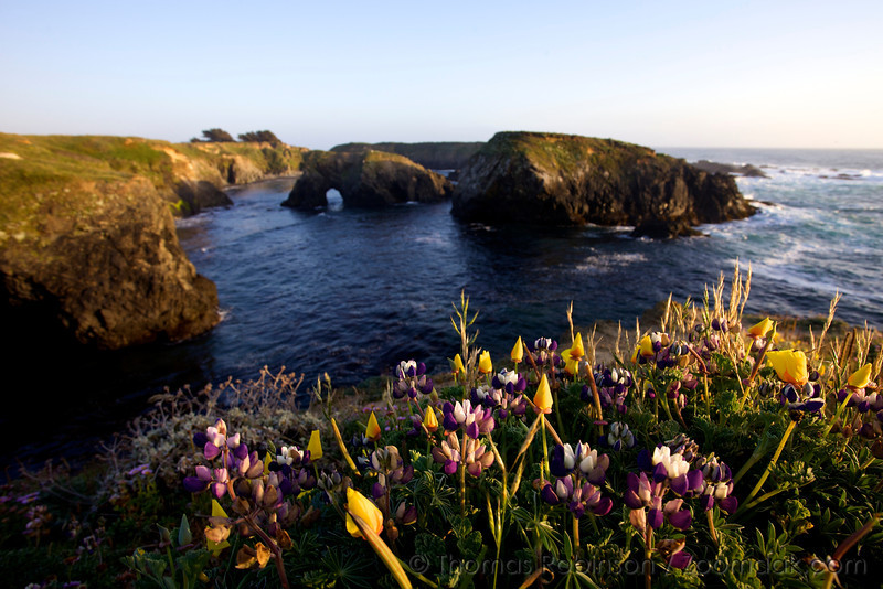 Wild Lupin<br /> (Lupinus perennis) and California poppy (Eschscholzia californica) bloom on the cliff edge of Mendocino Headland State Park at sunset.