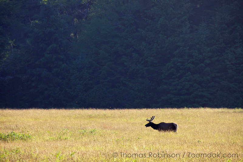 A lone wapiti (Cervus canadensis) chews upon reeds in the afternoon light.