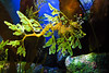 This Leafy seadragon (Phycodurus eques) is a master of camouflage with its colorful green protrusions.