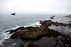 A turkey vulture (Cathartes aura) swoops over the linear rock formations of Point Arena Lighthouse.