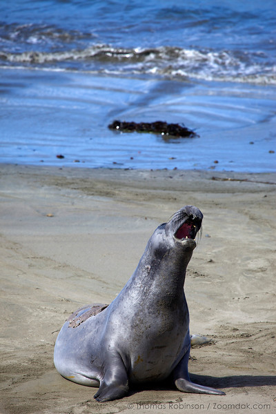 A California sea lion (Zalophus californianus) warbles its woes on Sea Lion Beach near Piedras Blancas Lighthouse. Sea lions communicate with numerous vocalizations, notably with barks and mother-pup contact calls.
