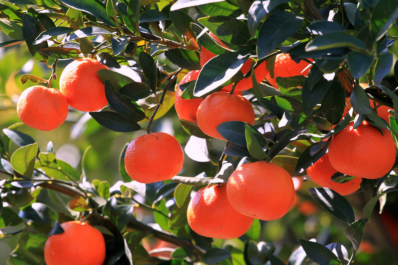 Transitionally grown Tango Mandarin in central California