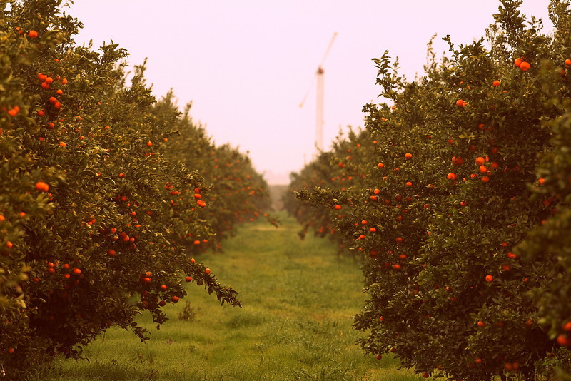 Murcott Mandarins near Dinuba, CA