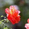 Rose grown in Escondido, CA