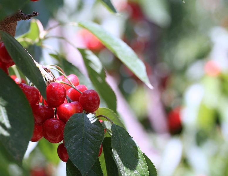 """Cherries grown in Shafter, CA """"Bellezas de la Carretera Loredo"""""""