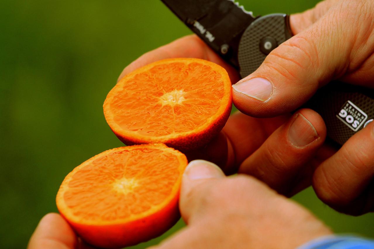 Sampling an organic Murcott Mandarin near Dinuba, CA