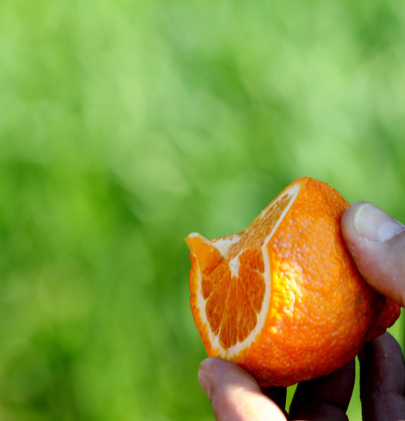 Organic Gold Nugget Mandarin in California