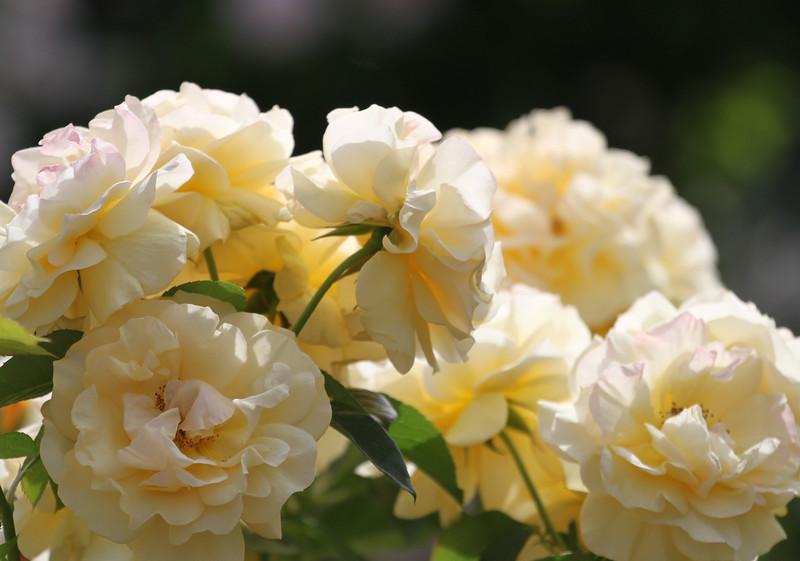 San Diego Roses