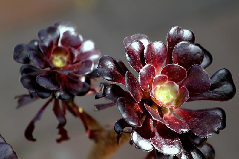 Brown Succulent grown in Escondido, CA