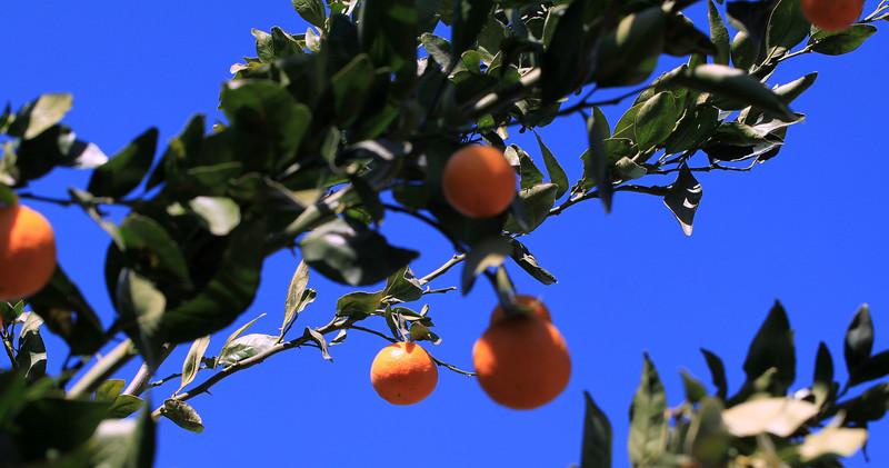 Pixie Mandarin in Ojai, California