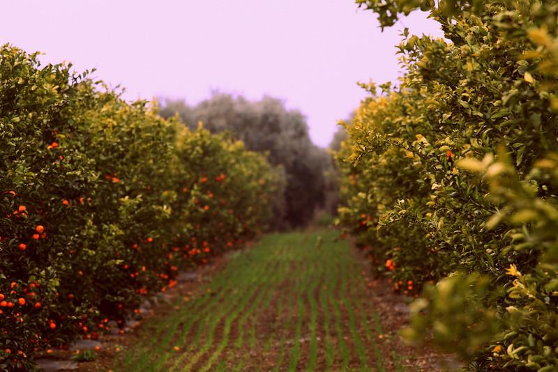 Organic Murcott Mandarins near Dinuba, CA