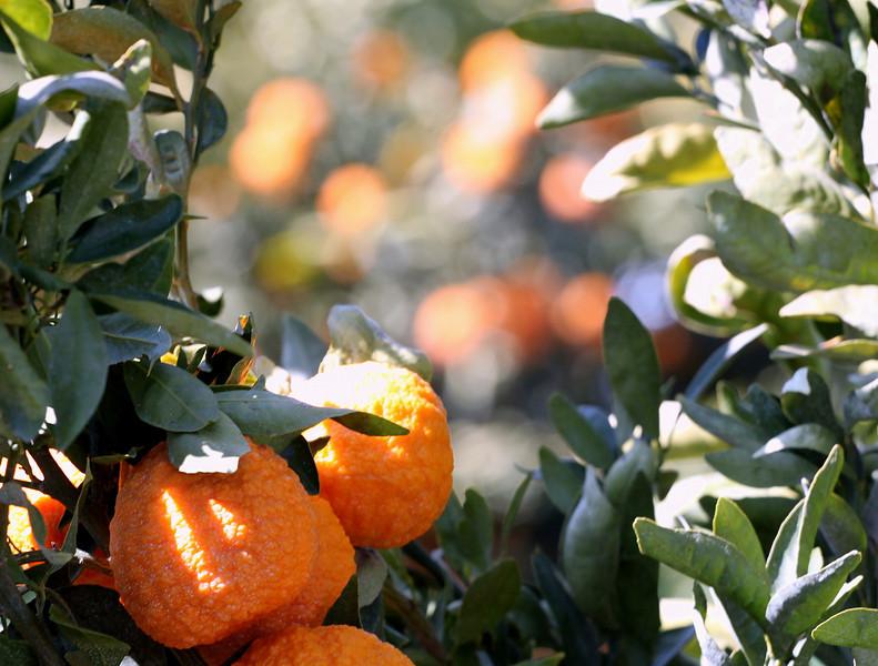 Organic Gold Nugget Mandarin orchard in California