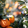 Organic Gold Nugget Mandarin orchard in California