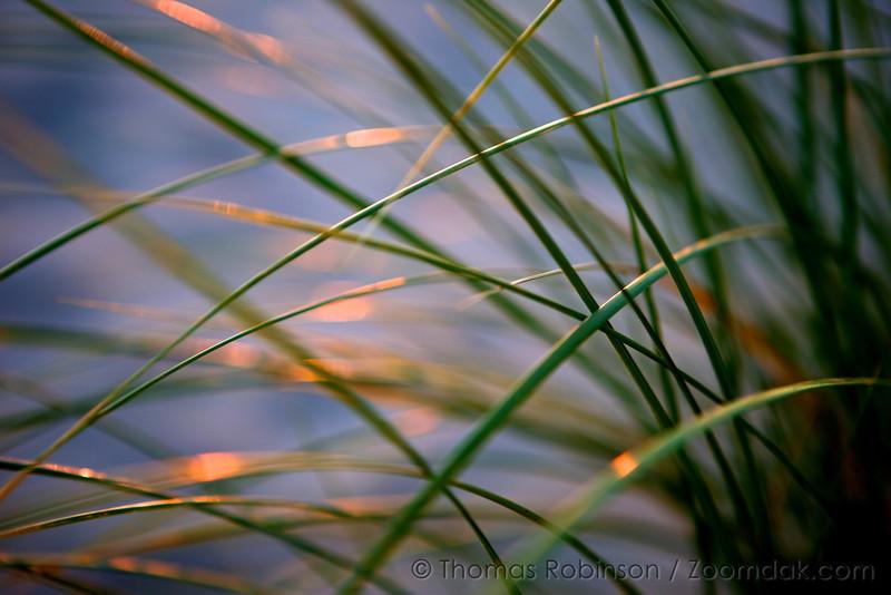 Dune Grass Macro
