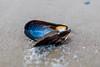 Beached Mussel Shelf