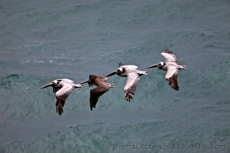 A group of four brown pelicans (Pelecanus occidentalis), one juvenile, soaring above the ocean swells on the Oregon Coast.