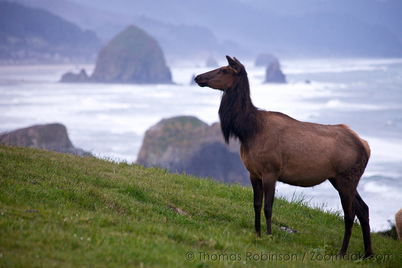 A female Roosevelt elk (Cervus canadensis roosevelti) keeps watch in front of the viewpoint in Ecola State Park in Cannon Beach, Oregon.
