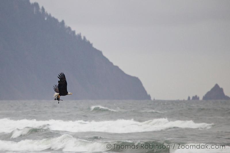 Bald Eagle Catch