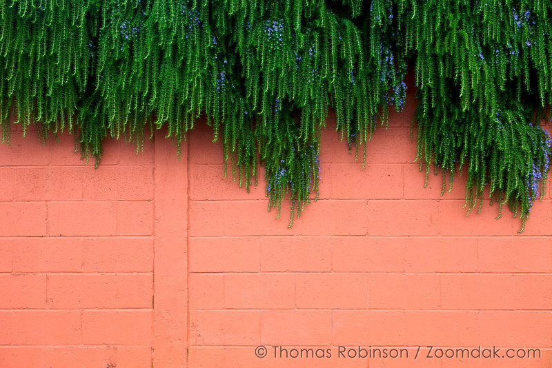 """A huge grouping of Rosemary (Rosmarinus officinalis) hangs down over a colorful wall in Oceanside, Oregon. The name rosemary comes from latin for dew of the sea - """"dew"""" (ros) and """"sea"""" (marinus)."""