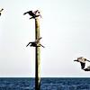Pelicans at Center Pier-Carolina Beach, NC