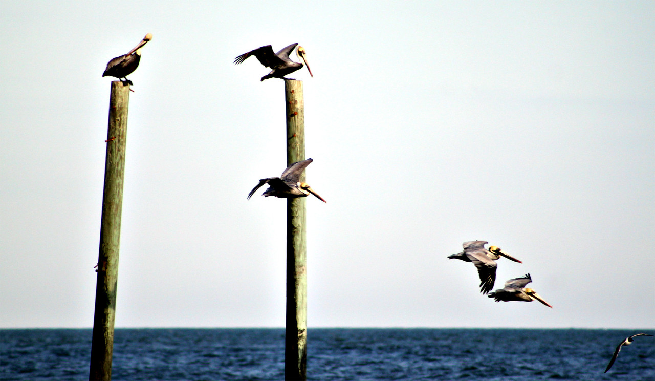 Pelicans at Center Pier-Carolina Beach, NC