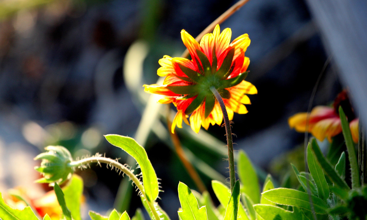 Fire Wheel-Indian Blanket at NC Ave Beach Access 2