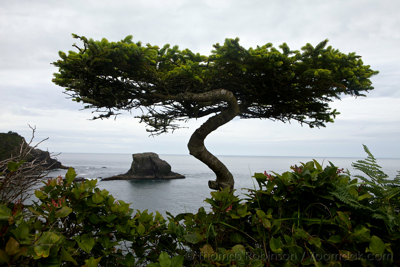 Bonsai Sitka Spruce at Cape Flattery