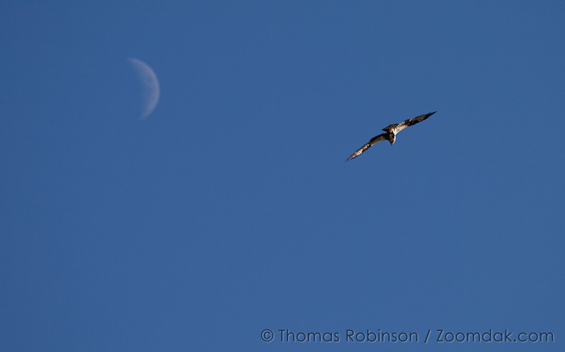 Osprey and Moon
