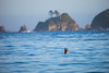 Seal Spy Hopping on the Olympic Coast