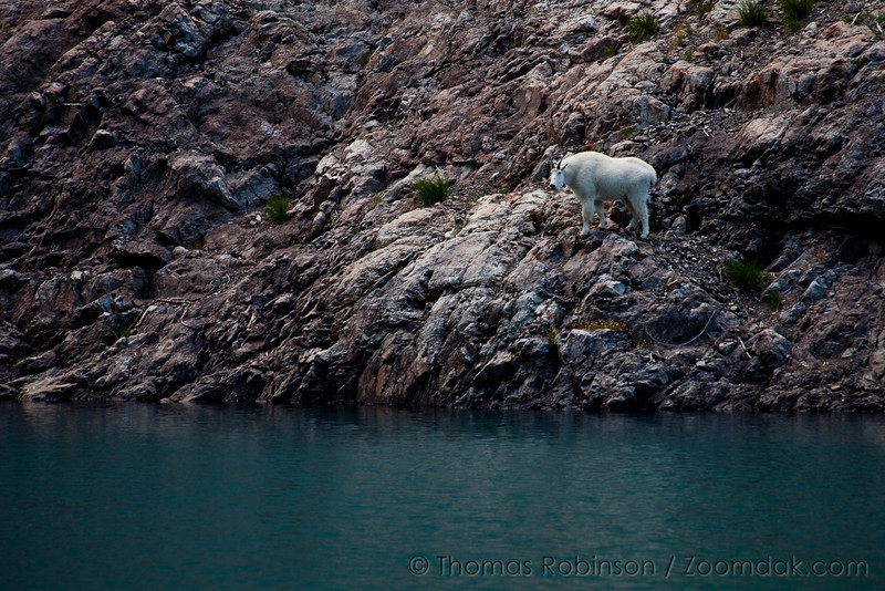 Mountain Goat Along Milk Lake