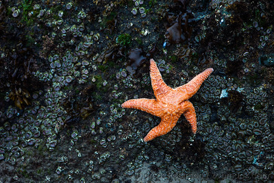Orange Starfish on the Olympic Coast