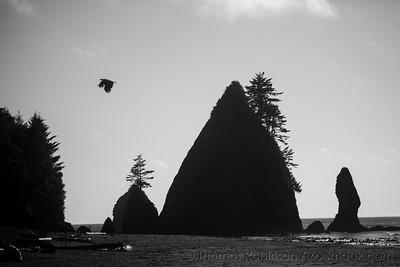 Eagle Flight at Shi Shi Beach
