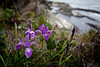 Oregon Irises (Iris tenax) grow along the cliff edges of Shore Acres State Park, near Coos Bay, Oregon.