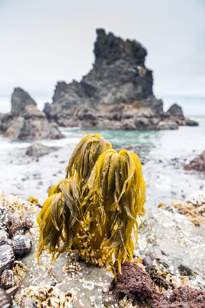 Sea Palm and Seastack