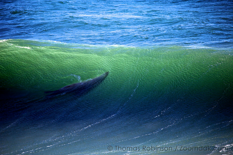 Sea Lion in the Wave