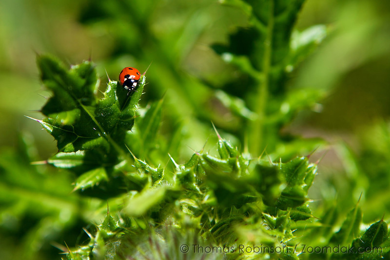 A ladybug (Coccinella magnifica) climbs on the leaves of a thistle.