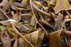 Rockweed Macro