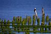 Bald Eagle Piling Perch