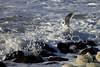 Pacific Gull Flight
