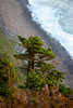 Sitka Spruce on Cliff Edge