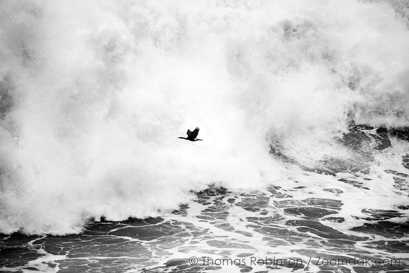 Giant Wave with Cormorant Flight
