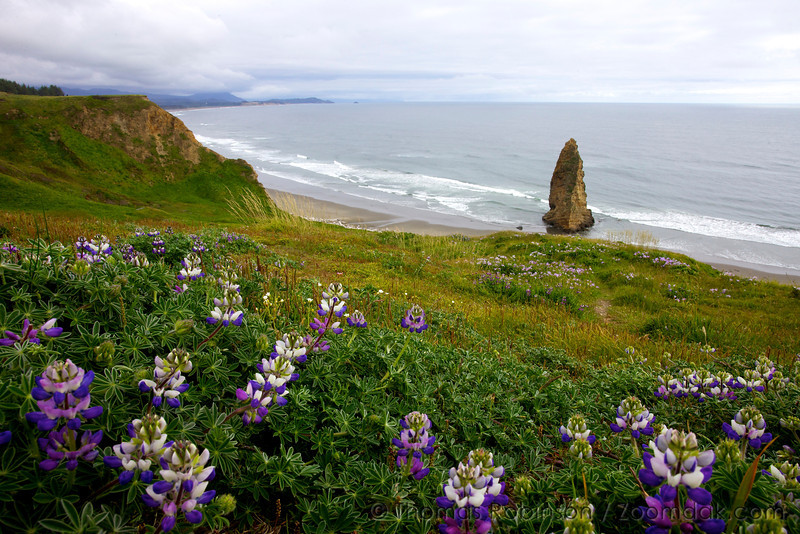 Wild Perennial Lupin<br /> (also known as sundial lupine or Lupinus perennis) bloom on Cape Blanco overlooking the Pacific Ocean.