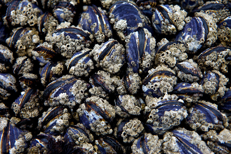 Comon Pacific coast barnacles (Balanus glandula) perch on California Mussels (Mytilus californianus) in the intertidal zone at low tide near Half Moon Bay.