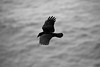 An American Crow (Corvus brachyrhynchos) flies above the Pacific Ocean.